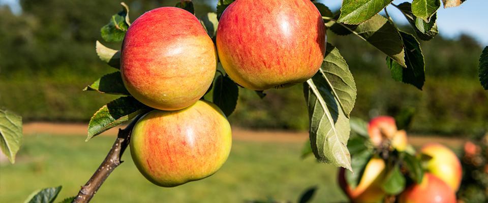 Gałąź jabłonki